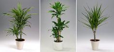 Huonekasvit poistavat ilmasta haitallisia aineita