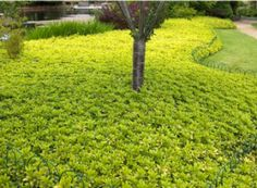 Bright green yellow - JW Pachysandra - buy your shade growing pachysandra plants, Pachysandra as a natural habintat