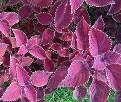 Hoje vamos falar de umas queridinhas que amoooo pois lembra minha infância. Meu avô tinha no jardim diversas plantas e uma delas é a Cóleus (Solenostemon scutellarioides), com diversos cultivares....