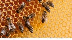 """Unable to develop a new antibiotic drug for decades, new research """"discovers"""" potential in a compound from honeybees, ignoring the fact that natural medicine has used bee pollen for years"""