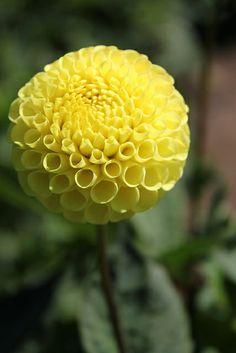 Lismore Moonlight Dahlia Dahlia Flowers, Gladioli, Calla Lily, Clematis, Moonlight, Flower Power, Beds, Delicate, Gardens