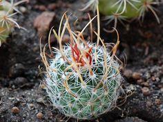 Echinofossulocactus erectocentrus PP1366