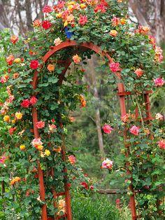 Joseph's Coat Climbing roses