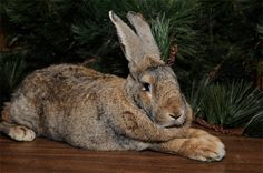 Weighing about 18 pounds, the Flemish giant is one of the largest breeds of domestic rabbit in the world.       Herbie, a Flemish giant rabbit, at the Wildlife Conservation Society's Prospect Park Zoo. Photo by Julie Larsen Maher/WCS