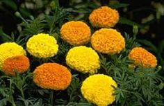 Marigold Seeds  African Jubilee Mix Annual Seed -- You can get more details by clicking on the image.