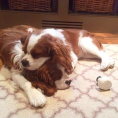 Cavalier brothers - Oliver's head makes the bestest pillow! G'nite!.