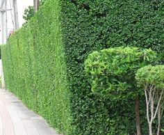 5 ต้นไม้ทำรั้วยอดนิยม ใช้เป็นรั้วบ้านก็ได้ ตกแต่งบ้านก็สวย ปราการกันภัยจากธรรมชาติ