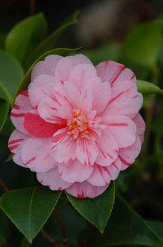 Camellia Japonica 'Bonbon Blush' (U.S., 1974)