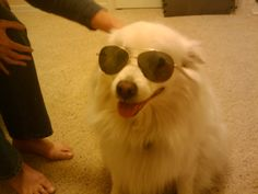 Is Chance the coolest doggie on the planet? I think so, but I may be a bit biased because he is mine, Cool Stuff, American, My Style, Animals, Animales, Animaux, Animal, Animais