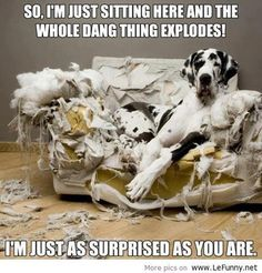Great Dane / It needed plumping. I see a Great Dane in our future :) Love My Dog, Funny Animal Pictures, Funny Animals, Cute Animals, Dog Pictures, Random Pictures, Caption Pictures, Large Animals, Amazing Pictures
