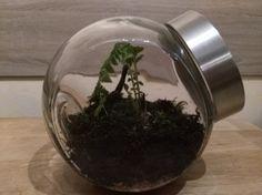 Heute besteht mein Flaschengarten bereits 7 Tage lang und optisch hat sich auch schon einiges verändert. Feuchtigkeit ist jetzt richtig eingestellt   Nachdem ich in den ersten Tagen etwas Probleme mit der Feuchtigkeit hatte, ist jetzt alles super. #Flaschengarten #EwigesTerrarium #Terrarium #DIY