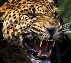 Amur Leopard, Leopard Animal, Tiger Photography, Jaguar Animal, Leopard Tattoos, Photo To Art, Great White Shark, Spirit Animal, Big Cats