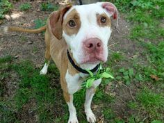 LADY GRAPE - ID#A1003336  I have been adopted!  I am a spayed female, brown and white Pit Bull Terrier mix.  The shelter staff think I...