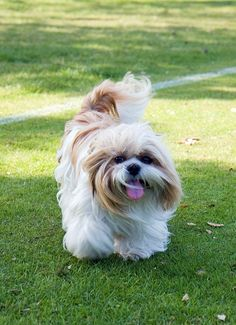 Looking for an answer to, Do Shih Tzus shed? Read this article, get the answer with important details about Shih Tzus along with some interesting insights. Chien Shih Tzu, Perro Shih Tzu, Shih Tzu Hund, Shih Tzu Puppy, Beautiful Dog Breeds, Beautiful Dogs, Lhasa Apso, Shih Tzus, Pug