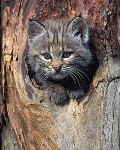 Cute Bobcat in the tree hole