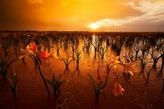 "Namibian Eden by Hougaard ""There is a 700 hectare mud pan in the Southern Region of Namibia that turns into an endless stand of lilies after the first heavy summer rains. The lilies germinate, grow. Namibia, Kahlil Gibran, Summer Rain, Out Of Africa, Amazing Sunsets, Amazing Nature, Akita, Belle Photo, Beautiful Landscapes"
