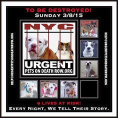 TO BE DESTROYED: 6 beautiful dogs to be euthanized by NYC ACC- SUN 3/08/15. This is a VERY HIGH KILL shelter group. YOU may be the only hope for these pups! ****PLEASE SHARE EVERYWHERE!To rescue a Death Row Dog, Please read this:  http://urgentpetsondeathrow.org/must-read/    To view the full album, please click here:    https://www.facebook.com/media/set/?set=a.611290788883804.1073741851.152876678058553&type=3