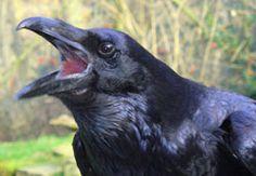 Raven's beak reference?