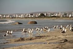 For bird lovers, Paternoster is home to over 250 species of birds with seabirds (Seagulls, cormorants, sacred ibis and the Oystercatcher) using this coastline as their breeding ground.