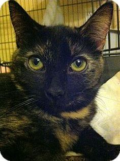 Domestic Shorthair Cat for adoption in Gilbert, Arizona - Nimira - Special Needs