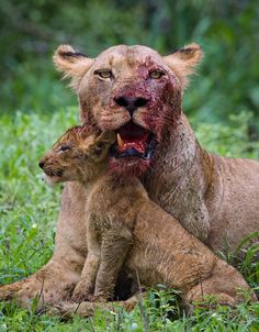 A lioness comforts her cub after having feasted on the kill in South Africa's Kruger national park. ©Mark Dumbleton