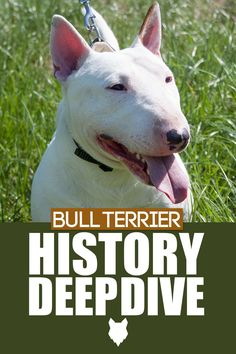 The Bull Terrier has many nicknames, one of which is the White Cavalier. It is quite interesting how a breed which was created for dogfighting, later changed to be a gentleman-like dog and a well-loved family pet. So, let's dive into today's blogpost and we'll tell you all  about the history behind one of the world's most glorious dog breeds! Terrier Dog Breeds, Bull Terrier Dog, Best Dog Breeds, Best Dogs, Dog Breed Info, Miniature Bull Terrier, The Perfect Dog, Getting A Puppy, Dog Fighting
