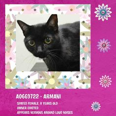 KILLED at ACC!! TO BE DESTROYED 4/30/15 *NYC* GORGEOUS GIRL! * Brooklyn Center * Armani was tense during the intake. She allowed to be placed on the counter for photos. She sat still for the photos and then allowed to be collared. She did not show any aggressive behaviors. Armani seems to not be thriving in this environment *   My name is ARMANI. ID # A0669722. I am a spayed female black dom sh mix.  I am about 8.  OWNER SUR on 04/27/2015 fr NY 11207, OWN EVICT.