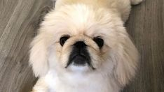 15 Funny Pictures Describing Typical Day of Pekingese – The Paws Pekingese Puppies For Sale, Pekingese Dogs, Lab Puppies, Toy Bulldog, Pekinese, Cutest Dog Ever, Dog Memes, Dog Grooming, Dog Owners