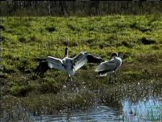 Whooping Cranes at Aransas National Wildlife Refuge  - Texas Parks and Wildlife [Official]