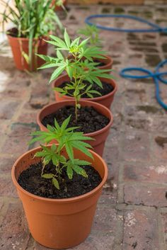 Outdoor Marijuana Growing For Beginners - how to grow one or two plants on a balcony or in a backyard.