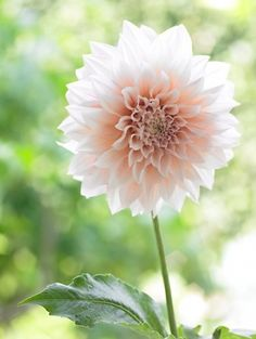 Dahlia 'Cafe Au Lait' For the main statement of the bouquet. Rich cream with a hint of pale rose.