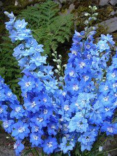 Blue flowers on Pinterest   Delphiniums, Blue Delphinium and Blue ...