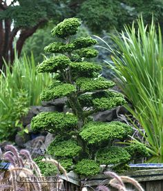 The natural habit of Chamaecyparis obtusa 'Reis Dwarf' lends itself to creating delightful garden sculptures for growing either in a container or among other plants in the garden. Garden Shrubs, Garden Trees, Garden Plants, Garden Landscaping, Flower Gardening, Gardening Tips, Evergreen Landscape, Evergreen Garden, Dwarf Trees