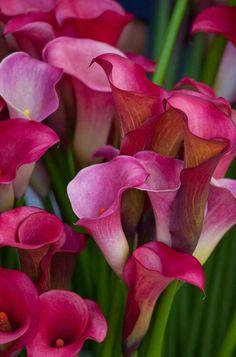 Fuschia Calla Lilies.