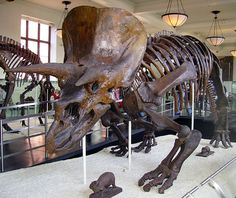 10 Things You Might Not Know About Triceratops