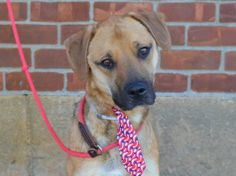 TO BE DESTROYED 6/28/14  Brooklyn Center -P   My name is ROCKY. My Animal ID # is A1003390.  I am a neutered male brown and black germ shepherd and st bernard smth mix. The shelter thinks I am about 3 YEARS old.   I came in the shelter as a STRAY on 06/15/2014 from NY 11235, owner surrender reason stated was ABANDON.