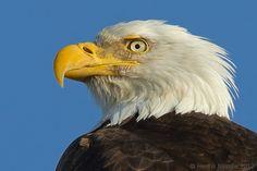 Majestic Eagle by Henrik Nilsson, via 500px