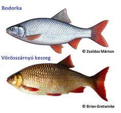 A halak között a bodorkát és a vörösszárnyú keszeget gyakran összetévesztik. Fish Farming, Colorful Fish, Fish Art, Recipes, Dune, Comet Goldfish, Recipies, Ripped Recipes, Cooking Recipes