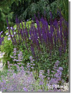 Staudenfoto zu Salvia nemorosa 'Caradonna' (Garten-Salbei) - SONNIG / JUN-SEP
