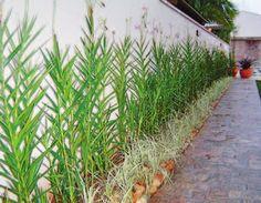 Orquídea-bambu | Jardim Cor