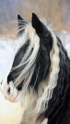 Horse Photography - Pretty Gypsy Vanner horse.