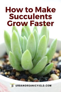 Growing succulents at home can be rewarding. But do you know how to take care or your succulents? Yes, succulents grow slow. Can you make your succulents grow faster? How do you water… More