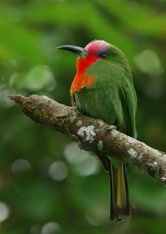 Red-Bearded Bee Eater