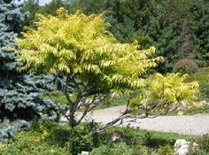Small and Dwarf Ornamental Trees for Northern and Midwest Gardens - tiger eyes sumac