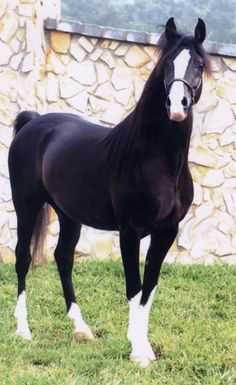Tha Dude - Black Arabian Performance Horse Stallion. I think this horse is absolutely gorgeous!