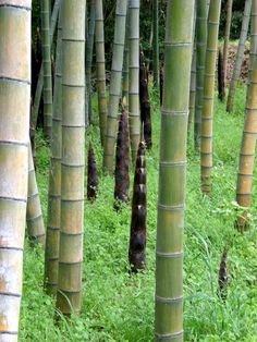 bamboo forest -- I'm watching for a panda.