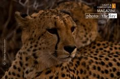 Cheetah's on the Lookout, by Bashar Alaeddin - Again as part of my 4 weeks photography volunteer program in South Africa. We spent a lot of time following and tracking the cheetah's. This was during a cold day on the end of our safari drive when we got a sight of the two males. I just love the look he has,
