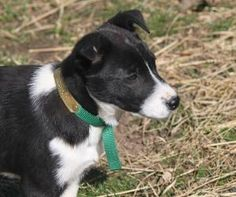 Bobby Jo is an adoptable Border Collie Dog in Richmond, VA. Bobby Jo is a beautiful border collie mix pup. �She is very lovely girl who loves to play. �She plays 'tug a duck' and 'rope pull' and is le...