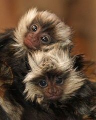 "twin Geoffroy's Marmosets:  Meet ""See No Evil"" and ""Say No Evil""...cute❤"