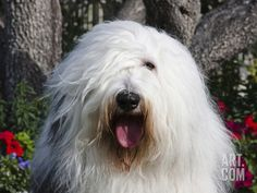 Portrait of an Old English Sheepdog Sitting in Front of Flowers, California, USA Photographic Print by Zandria Muench Beraldo at Art.com